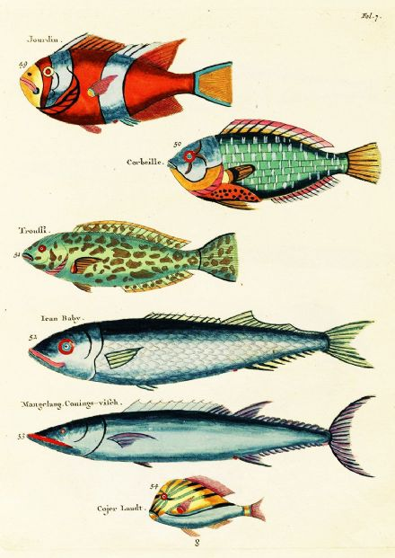Renard, Louis: Illustrations of Marine Life Found in Moluccas (Indonesia). Art Print/Poster (4973)